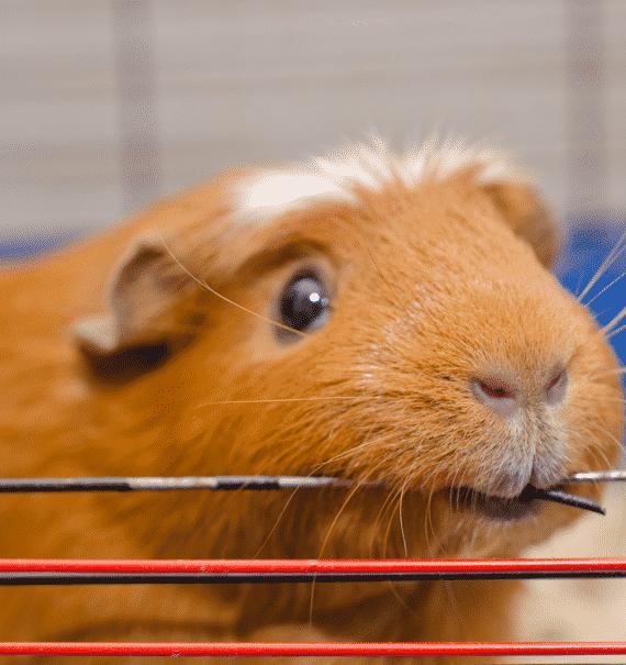 Why Do Guinea Pigs Bite Me