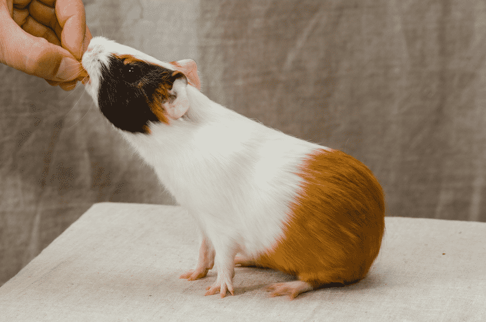 The Loving Pet Parent's Guide on How to Train a Guinea Pig