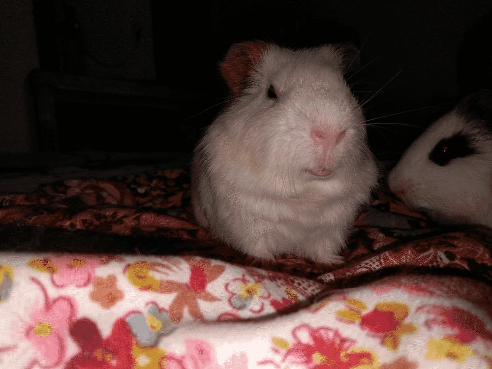 Minimize Guinea Pigs Noise