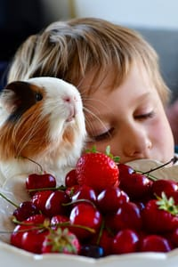 my child feed cherries to guinea pigs