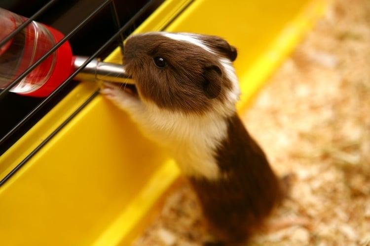 Do Newborn guinea pigs drink water