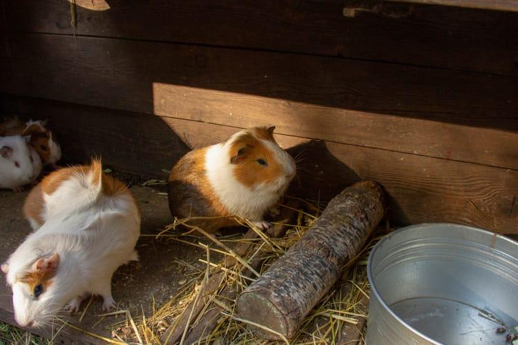 Why Do Guinea Pigs Popcorn