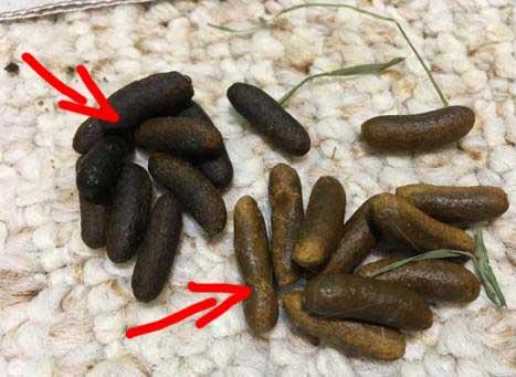 hard pellets poop guinea pig